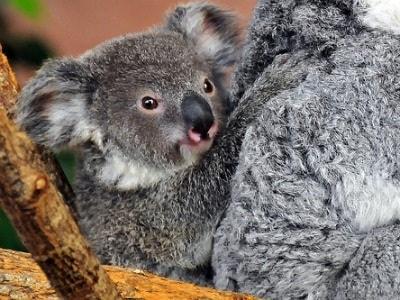 koala-baby-400