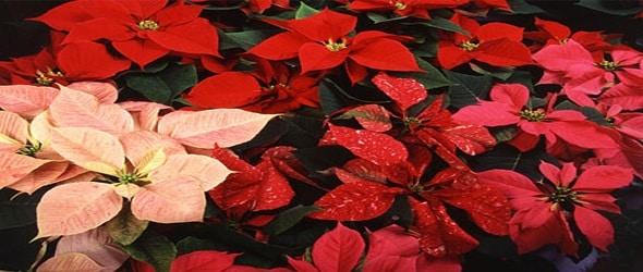 La-Stella-di-NataleBIG.180x120
