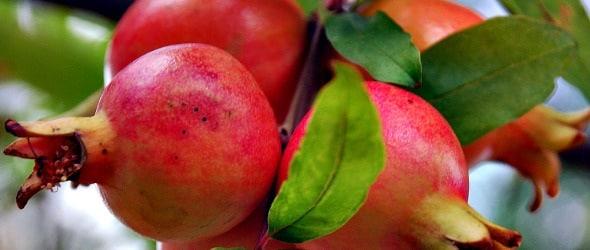 pomegranate_590.180x120