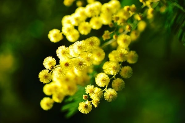 mimosa.600